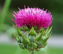 Refined health herbs milk thistle